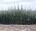 Reduced Height trees could benefit biomass production