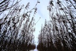 the-willow-plantation-at-the-ohaton-sewage-lagoon-is-designed-to-help-treat-sewage-and-provide-biomass-for-heating